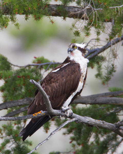 Photograph - Fishing Osprey by Gerry Sibell