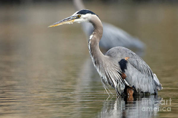 Photograph - Fishing Pacific Great Blue Heron by Sue Harper