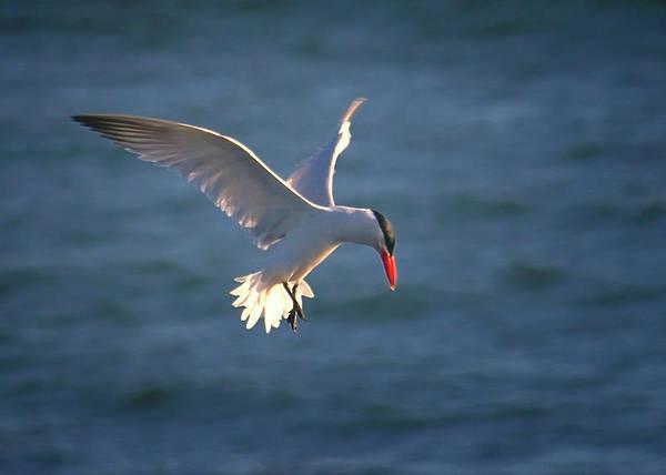 Photograph - Fishing Tern by Albert Seger