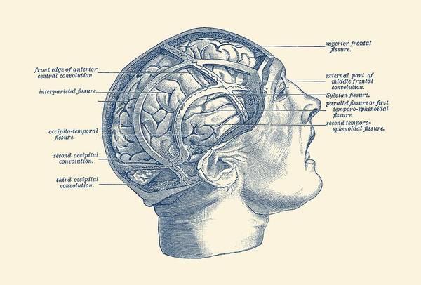 Nerves Drawing - Fissure Focused Brain Diagram - Vintage Anatomy by Vintage Anatomy Prints