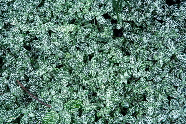 Photograph - Fitonina Nerve Plant Leaves by David Coblitz