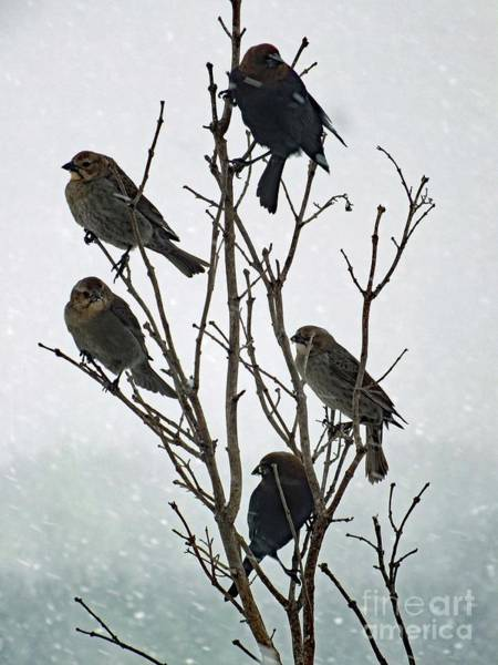 Molothrus Ater Photograph - Five Cowbirds Sitting In A Tree by Cindy Treger