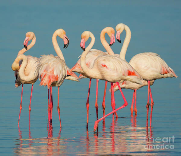 Wader Photograph - Five Flamingos by Inge Johnsson