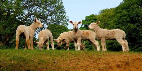 Photograph - Five Little Lambs by Roberto Alamino