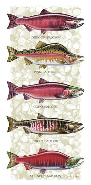 Bait Wall Art - Painting - Five Salmon Species  by JQ Licensing