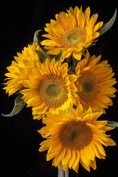 Golden Photograph - Five Sunflowers by Garry Gay