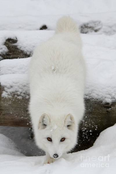 Arctic Wolves Photograph - Fixated by Heather King