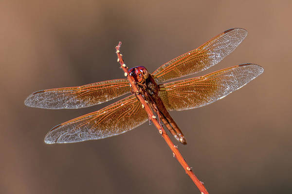 Photograph - Flame Skimmer Close Up by Dan McManus