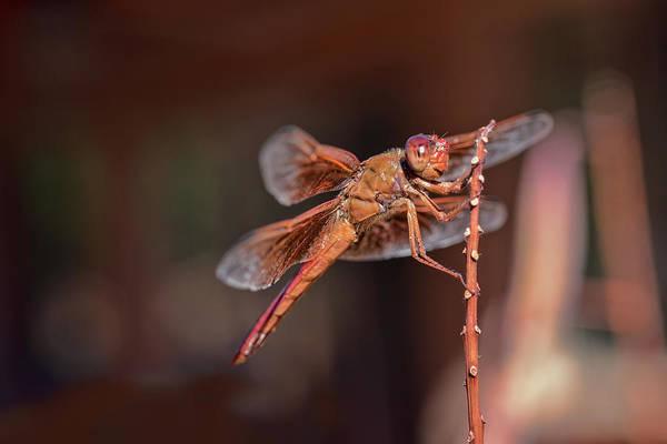 Photograph - Flame Skimmer by Dan McManus