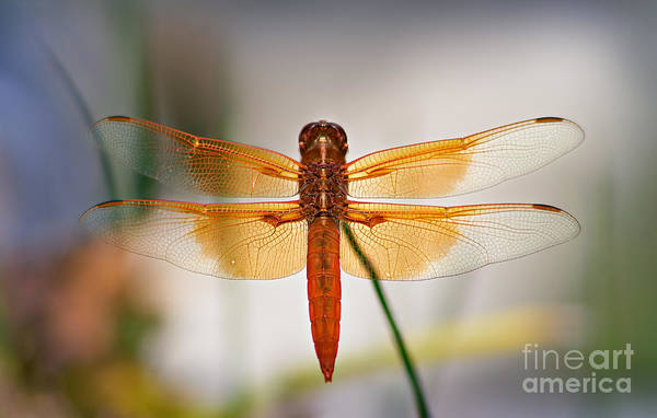 Skimmers Photograph - Flame Skimmer Dragonfly by Susan Isakson