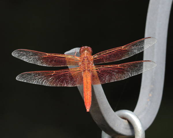 Photograph - Flame Skimmer by John Moyer
