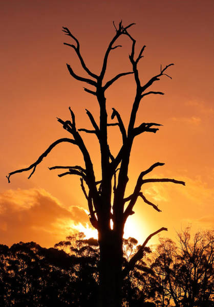 Photograph - Flame Tree by Nicholas Blackwell