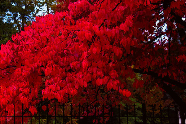 Photograph - Flames Of Autumn by Susan Vineyard