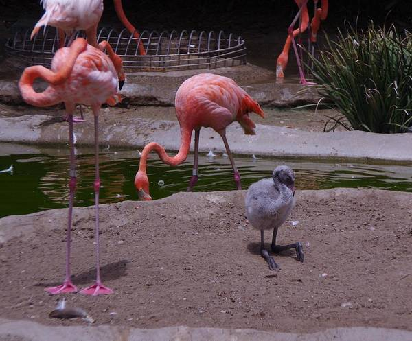 Photograph - Flamgos 3 San Diego Zoo by Phyllis Spoor