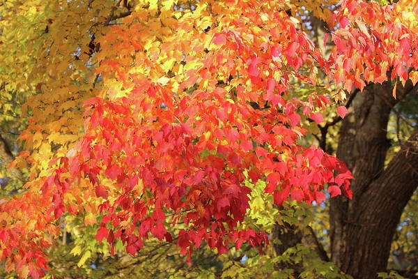 Photograph - Flaming Leaves 3 Autumn Leaf Colors Art by Reid Callaway