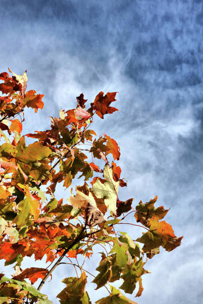 Photograph - Flaming Foliage by Cate Franklyn