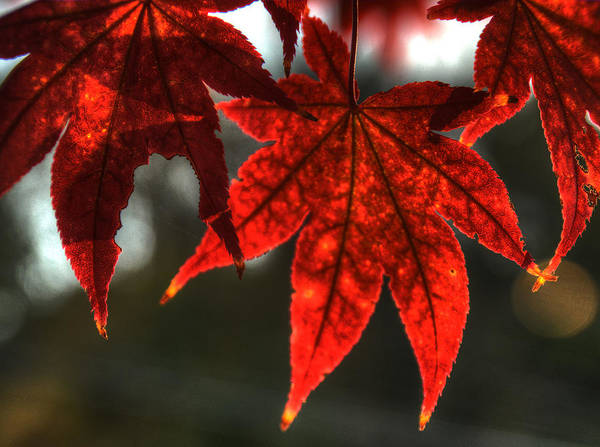 Photograph - Flaming Leaves by Michael Kirk