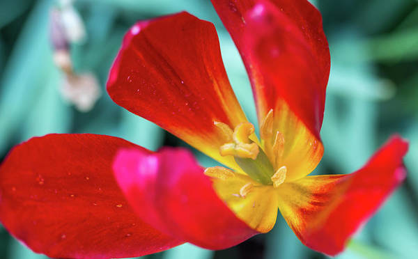 Photograph - Flaming Tulip by Susie Weaver