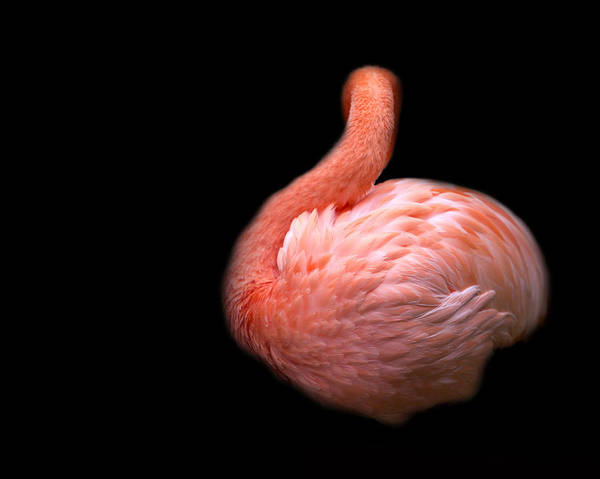 Wall Art - Photograph - Flamingo 1 by Rebecca Cozart