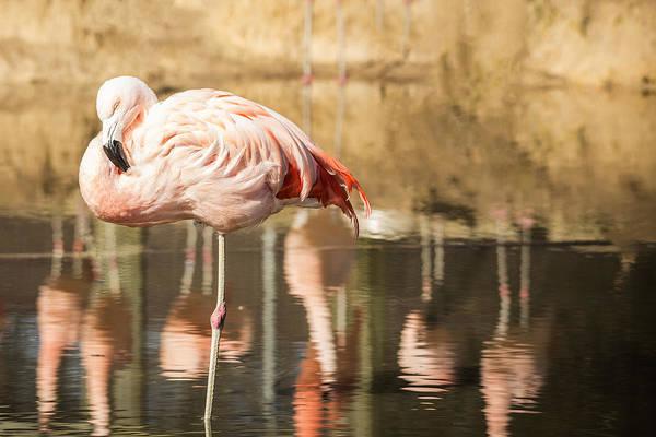 Photograph - Flamingo Amongst Reflections by Jemmy Archer