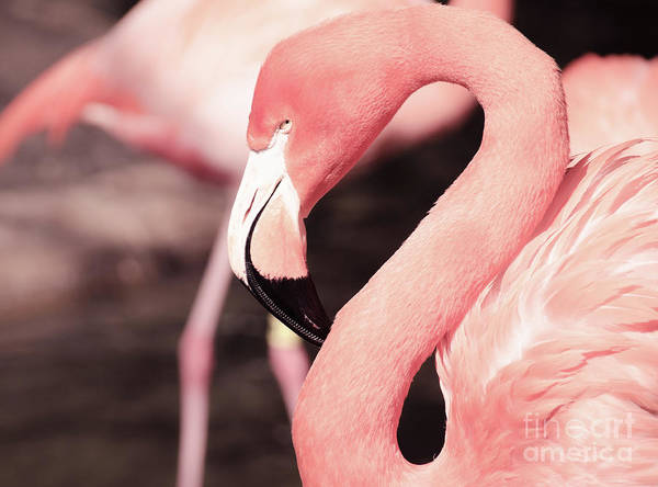 Photograph - Flamingo by Andrea Anderegg