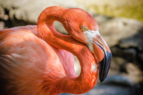Photograph - Flamingo by Chris Coffee