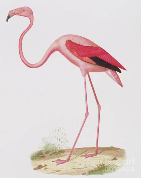 Wall Art - Painting - Flamingo by Edouard Travies