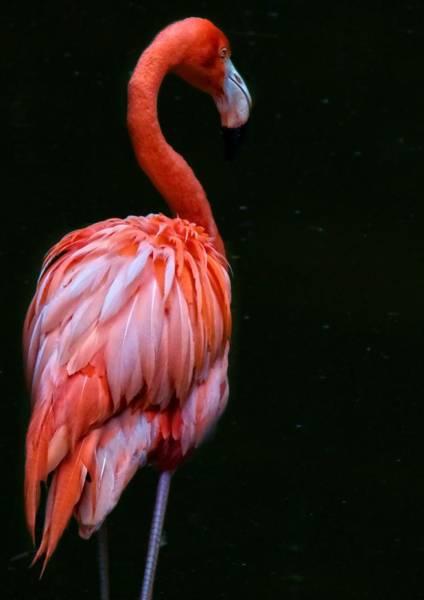 Photograph - Flamingo En Noir by Alice Gipson
