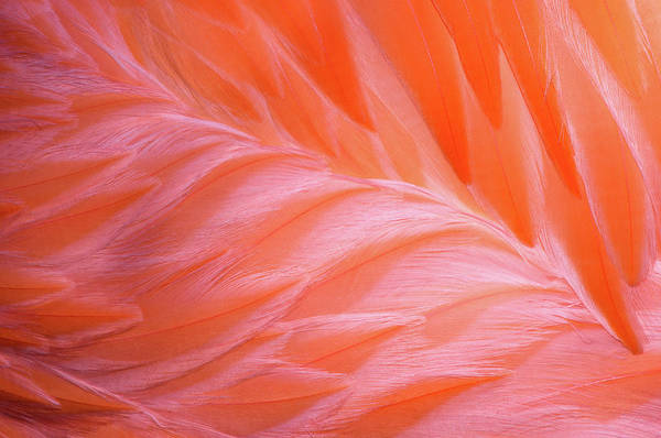 Photograph - Flamingo Flow 1 by Michael Hubley