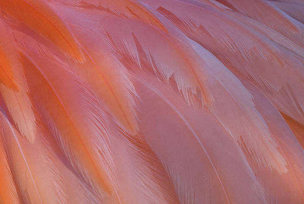 Photograph - Flamingo Flow 5 by Michael Hubley