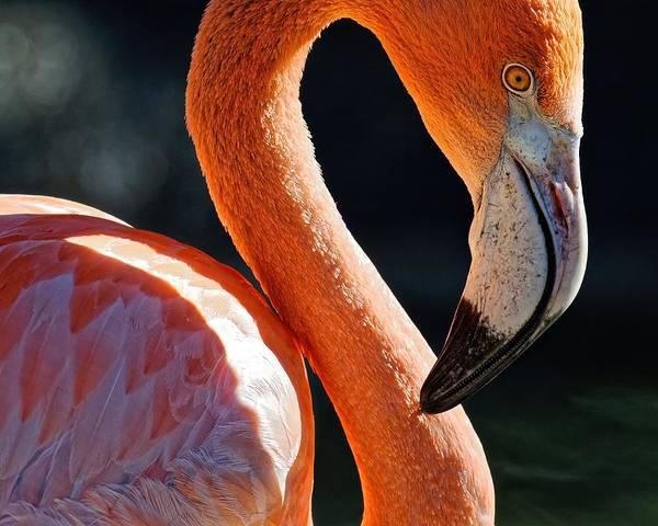 Photograph - Flamingo by KJ Swan