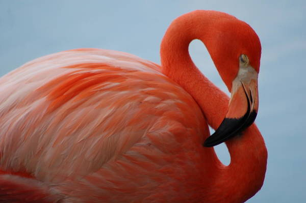 Photograph - Flamingo by Michael Raiman