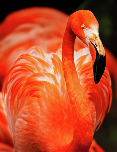 Wall Art - Photograph - Flamingo  by Happy Home Artistry