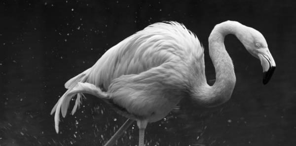 Photograph - Flamingo Splashes En Noir by Alice Gipson