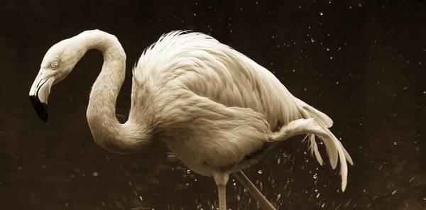 Photograph - Flamingo Splashes En Sepia by Alice Gipson
