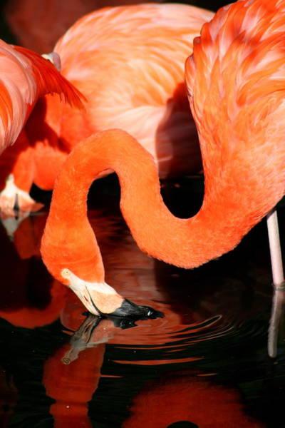 Photograph - Flamingo Taking A Dip by David Dunham