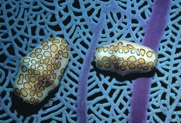 Flamingo Tongue Shells On Sea Fan Art Print