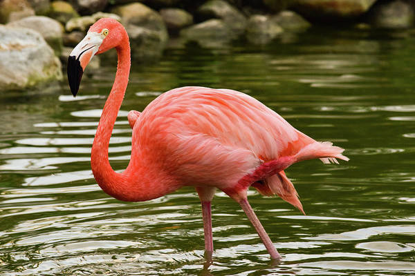 Photograph - Flamingo Wades by Nicole Lloyd