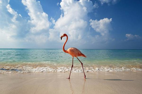 Water Birds Photograph - Flamingo Walking Along Beach by Ian Cumming