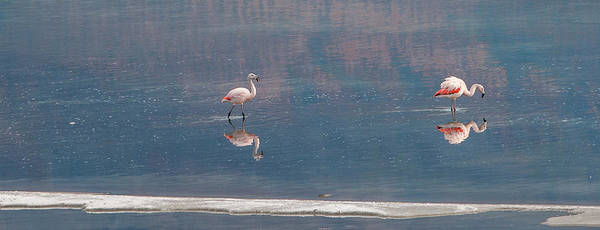 Photograph - Flamingoes. by Usha Peddamatham