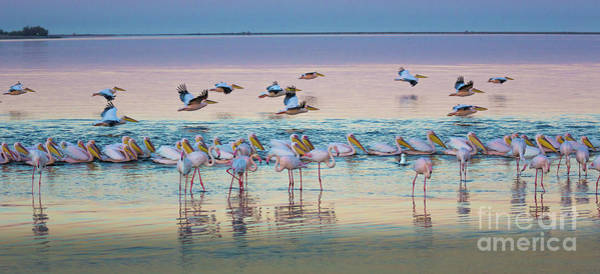 Wader Photograph - Flamingos And Pelicans by Inge Johnsson
