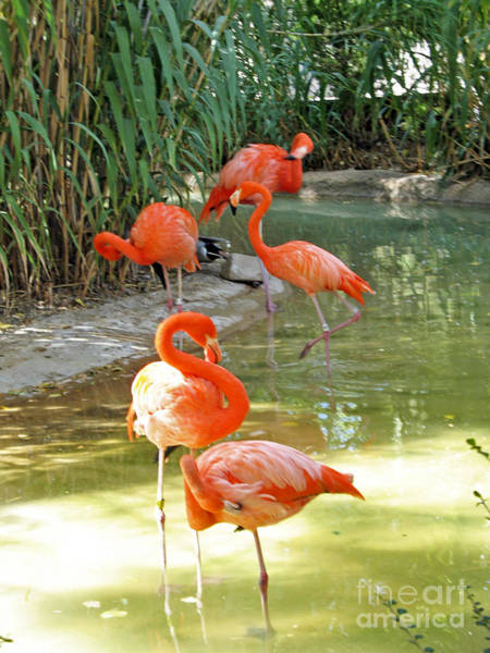 Photograph - Flamingos by Cindy Murphy - NightVisions