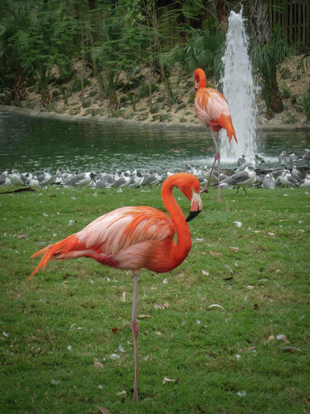 Photograph - Flamingos In The Park by Patti Deters
