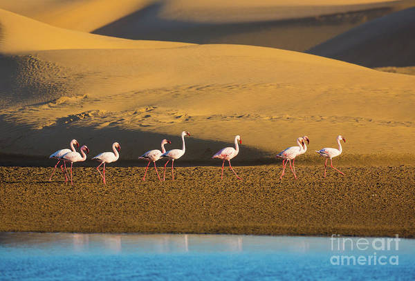 Wader Photograph - Flamingos In The Sand Dunes by Inge Johnsson
