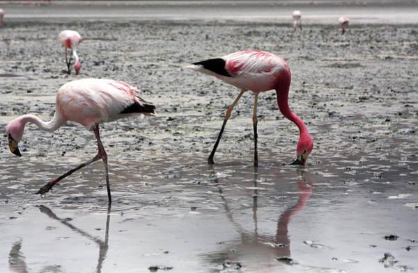 Photograph - Flamingos On Uyuni Salt Flats, Bolivia by Aidan Moran