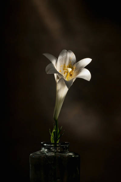 Photograph - Flashlight Series Easter Lily 1 by Lou  Novick