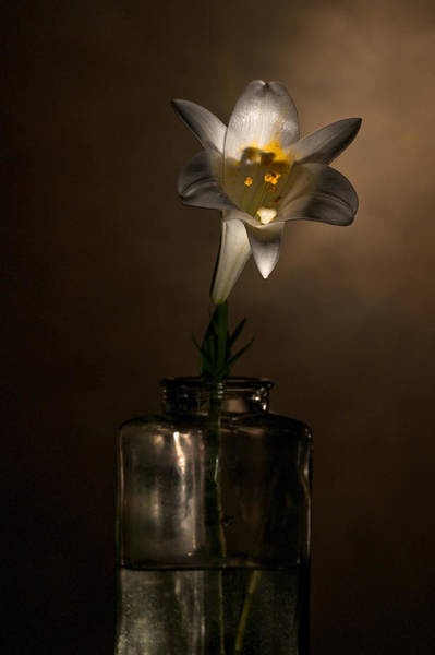 Photograph - Flashlight Series Easter Lily 2 by Lou  Novick