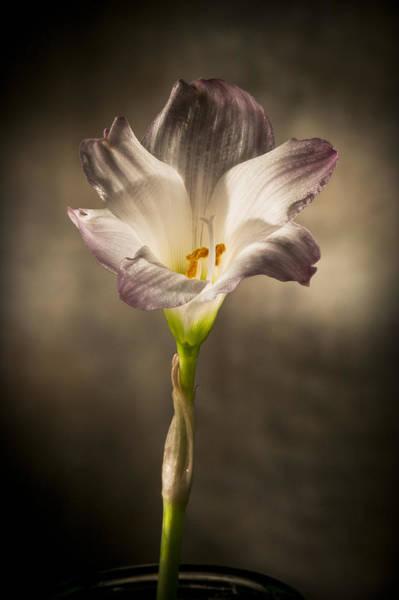 Photograph - Flashlight Series White Flower 4 by Lou  Novick