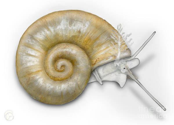 Painting - Flat Valve Shell Valvata Cristata - Platte Pluimdrager - Flache  by Urft Valley Art