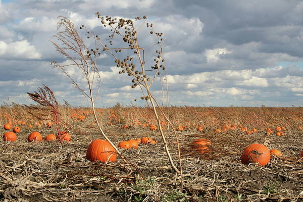 Photograph - Flatland Pumpkins by Dylan Punke